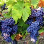 В Україні дозрів нечуваний врожай винограду: аграрії такого не пригадують